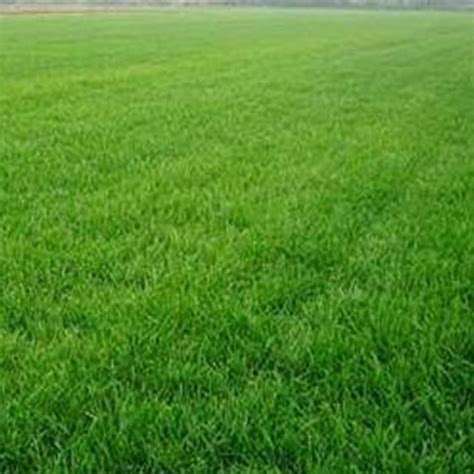 Grass Seed by 10000x Fescue Green Grass Seed Festuca Arundinacea