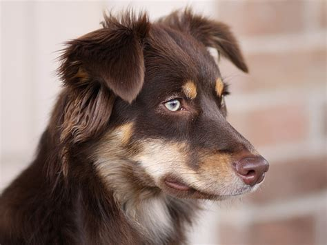 brown dogs what dogs light brown breeds picture