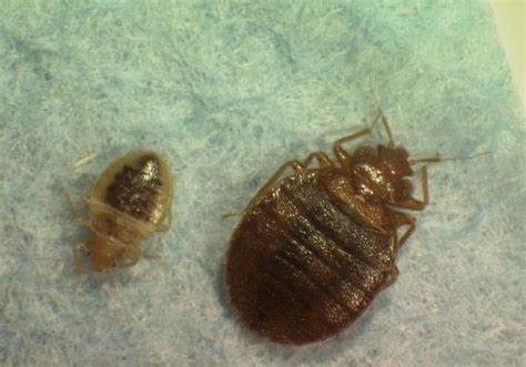 bed bugs nyc bed bugs found in new york city hall ny daily news