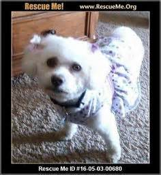 havanese rescue kansas city 1000 images about dogs need to be adopted havanese cotons maltese poodles