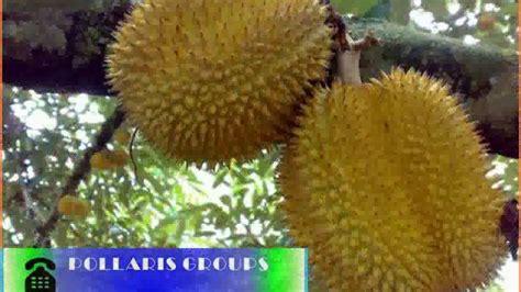Bibit Durian Bawor Salaman bibit durian musang king bibit durian bawor bibit durian