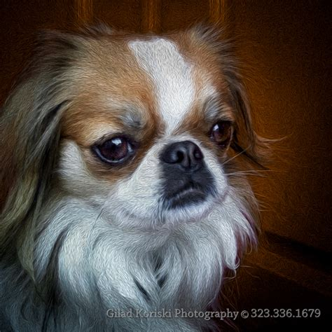 japanese chin puppy reilly the japanese chin phodigraphy and prints