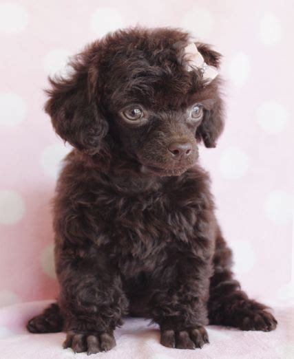 chocolate poodle puppy 21 best images about teacup puppies on yorkie puppies for sale poodles