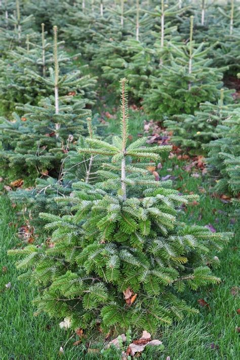 plant profile nordmann fir the english garden