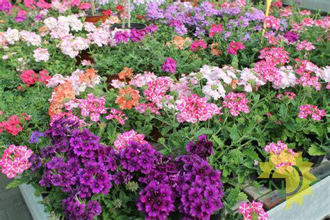piante e fiori perenni perenni e annuali da fiore casanatura vivaio