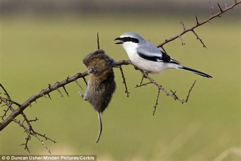 the birds and other shrike birds use deadly branch spike to kill their prey daily mail online