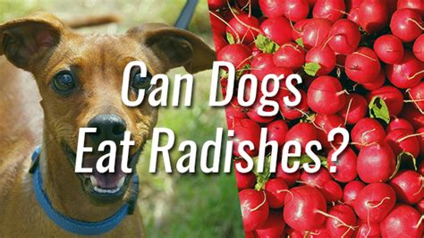 can dogs radishes can dogs eat radishes pet consider