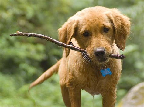 puppy sticks how to feed your new puppy easy animal hq from easy animal