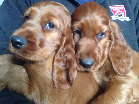 setter dogs for sale two beautiful irish setter puppies for sale richmond