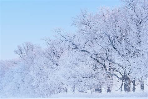Tree Frosted - frosted trees by dean pennala