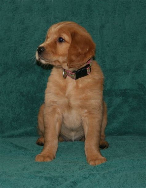 7 week golden retriever puppy 7 week golden retriever puppies photo