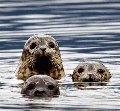 Sea Ls by Harbor Seals Adorable Cuteness