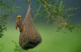 weaver bird nest animals i love pinterest