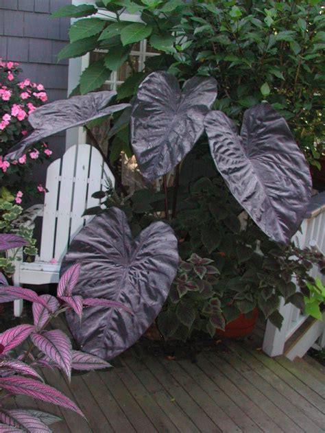 black magic elephant ear plants i love pinterest
