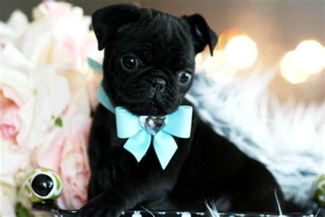 black teacup pug teacup pug wrapped in a bow happiness in a teacup pug black pug and