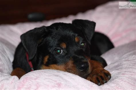 rottweiler puppies for sale in ms rottweiler puppy for sale near southwest ms mississippi 5da5b779 15f1