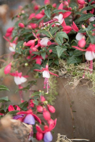 bloemen uit latijns amerika bella fuchsia een dankbare plant nieuws tuincentrum