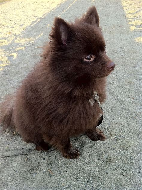 chocolate and pomeranian chocolate brown pomeranian pretty