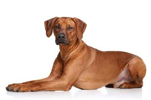 Been planning to run more? A Rhodesian Ridgeback is just the ... Kitten