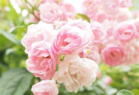 rosa fiori piante con fiori rosa ecco le pi 249 lombarda flor