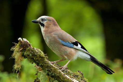 jay bird profile flickr photo sharing