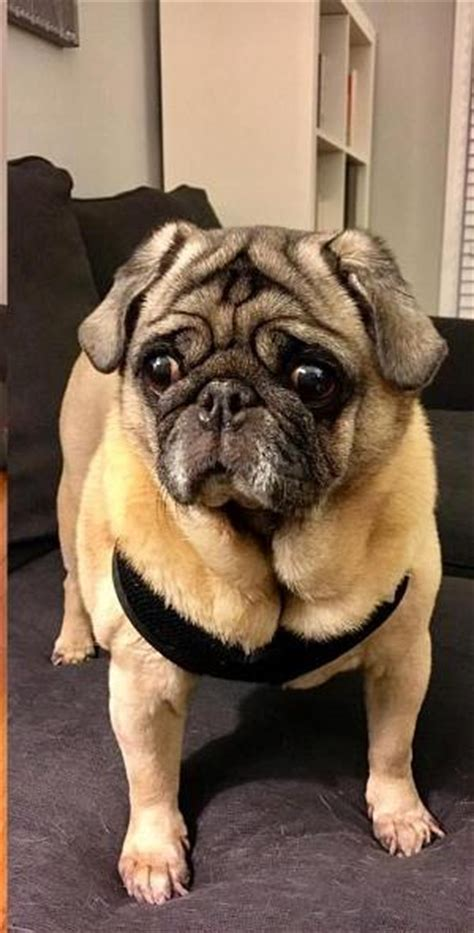 pug rescue knoxville pug pictures facts and user reviews