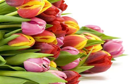 tulipano significato dei fiori significato tulipano significato fiori il