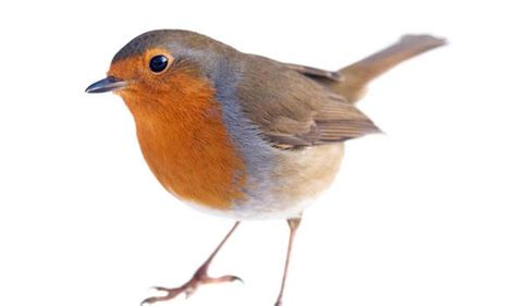 southern softie robins fly north uk news express co uk