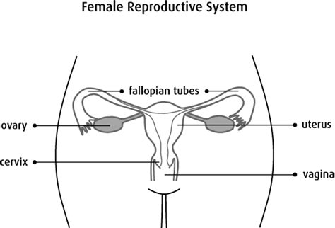 diagram of fallopian and uterus what is uterine cancer canadian cancer society