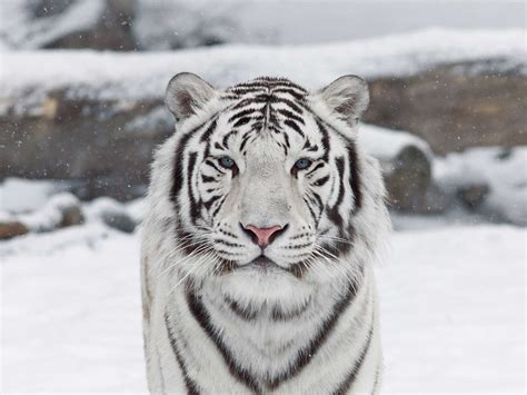 Tiger White white tiger by jaquelin