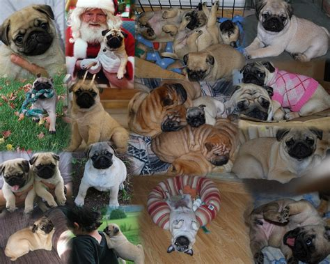canadian pug breeders siosalach shar pei and pugs shar pei and pug puppies