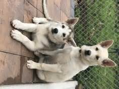 gerberian shepsky puppies for sale view ad gerberian shepsky mix puppy for sale new jersey jersey city usa