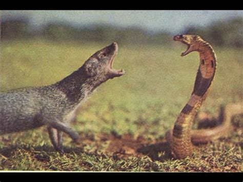 mongoose vs cobra snake mongoose vs cobra mongoose vs lion mongoose vs black