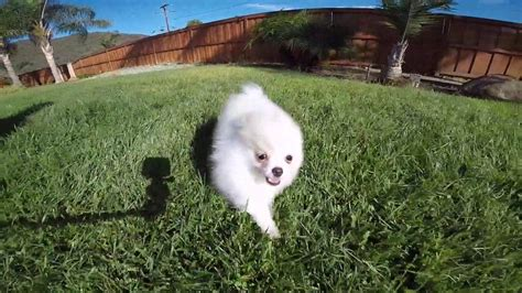 snowball pomeranian pomeranian puppies for sale los angeles breeds picture