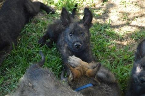 berger picard puppies for sale virginia for sale puppies for sale