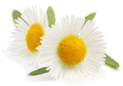 fiore camomilla struccante fai da te alla camomilla shoppingdonna it