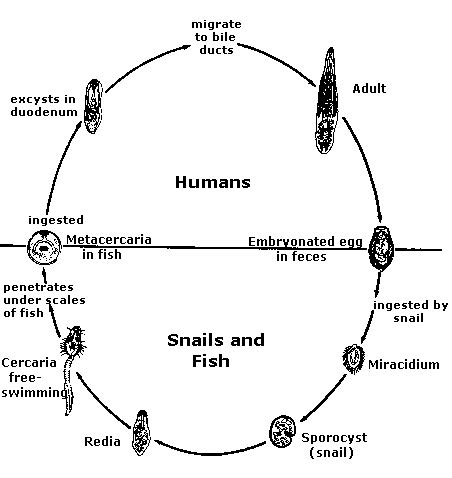 Diagram Of Tapeworm Liver Fluke Earthworm Hydra With Labelling 10092557 Meritnation Clonorchiasis Site