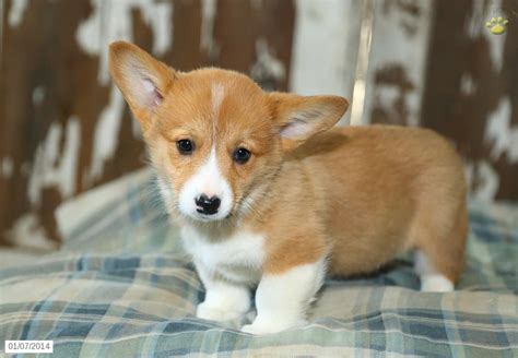 pembroke corgi puppies for sale pembroke corgi puppies sale 19 high resolution wallpaper dogbreedswallpapers