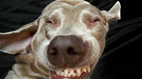 dogs sneezing the sneeze a