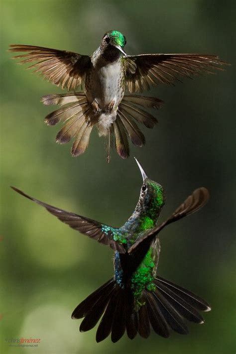 by chris oliphant on 500px amazing photos pinterest chris via 500px two hummingbirds in flight at the highlands