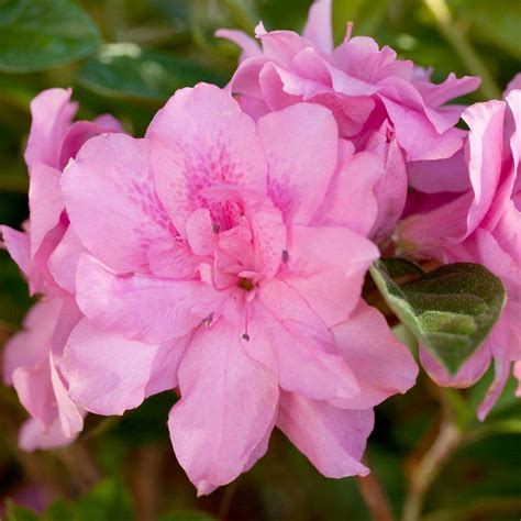encore azalea 1 gal autumn twist 80561 the home depot