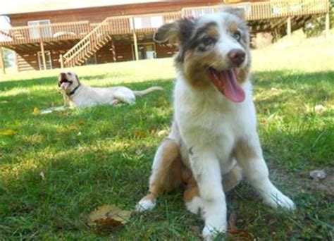12 week puppy still not potty trained dominant aussie pup still not potty trained and shows signs of aggression