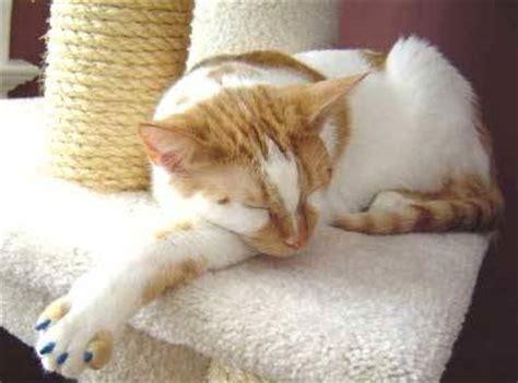 imagenes de uñas pintadas gatos u 241 as postizas para gatos que ara 241 an tiendanimal