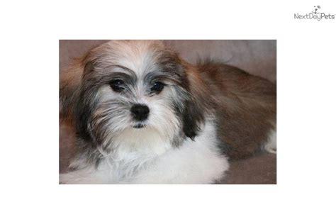 havanese rescue san diego havanese puppy k9 breeds picture