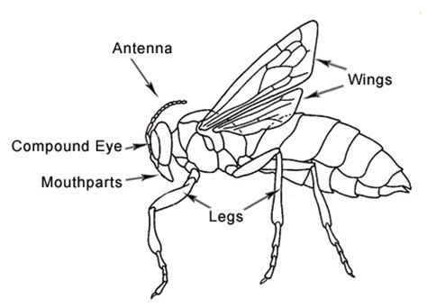 insect body sections lady bug diagram lady free engine image for user manual