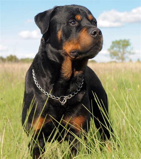 photos of a rottweiler photo un chien rottweiler