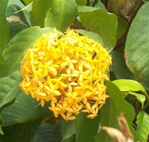 Tanaman Hias Bunga Melati Jepang Kuning tanaman soka kuning