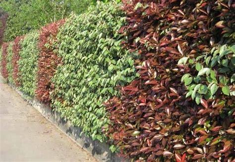 nomi piante da giardino pianta sempreverde da siepe siepi sempreverdi per siepi