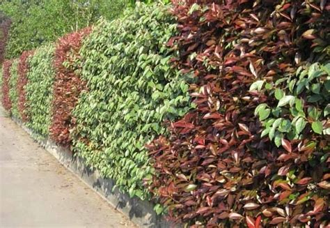 prezzi siepi da giardino pianta sempreverde da siepe siepi sempreverdi per siepi