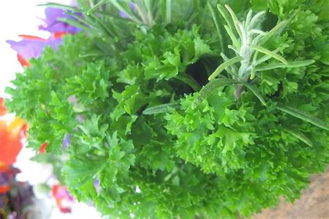 Cilantro vs Parsley   Difference and Comparison   Diffen